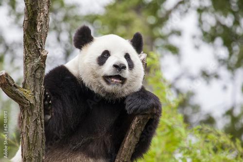 Foto op Canvas Panda Giant panda on the tree