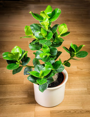 Balsamapfel, (Clusia rosea)