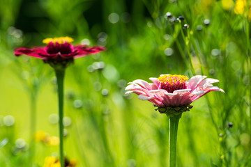 Summer Zinnia Elegans Flowers