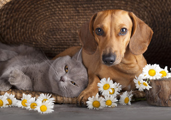 British kitten and  red dachshund, cat and dog