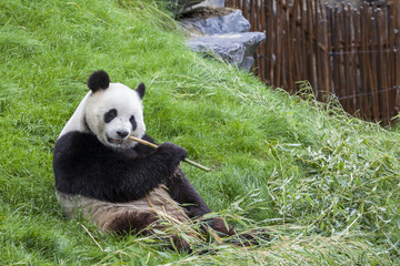 Panda sits on the ground and eats bamboo