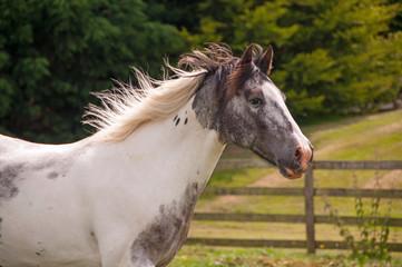 Pinto horse portrait
