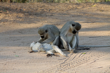 Vervet monkey's in Kruger Park