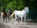 Fototapeta Runing horses