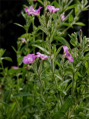 willow herb with purple flowers
