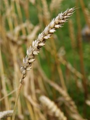 dry ,ripe ear of wheat on field