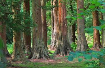 Mammutbäume im Wald