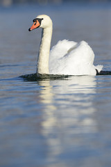 Mute swan swimming in water,