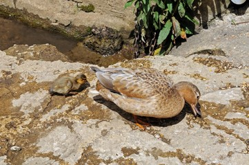 Duck and duckling on riverbank © Arena Photo UK