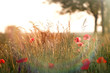 Red poppy and grass - sunset on meadow