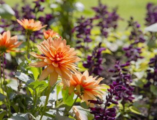 Orange dahlia flowers in formal garden