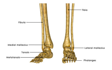 Skeleton legs labelled
