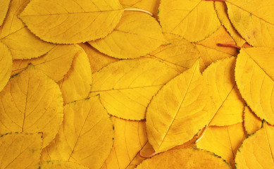 The background of yellow leaves