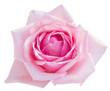 pink blooming rose