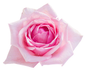 pink blooming rose