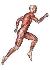 Male Anatomy Figure