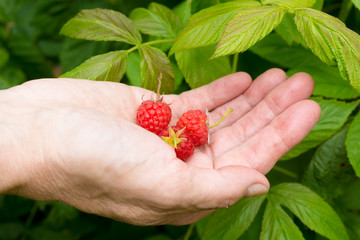 red berries in the hand.  Fresh picked raspberries