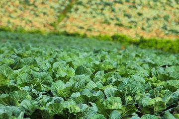 Biggest Cabbage Field