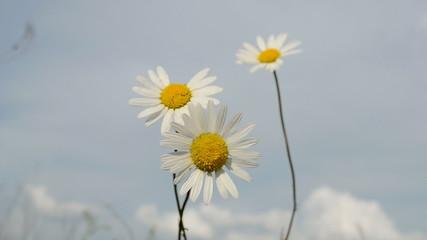 camomile closeup on blue sky, nature, summer diversity
