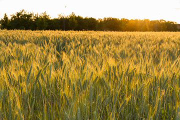 cereal field in sunset