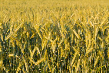 field of cereals - rye detail