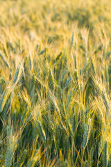 Cereal - rye detail