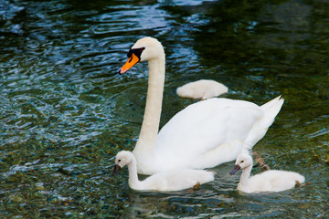Swan with chicks. Mute swan family.  Beautiful young swans in la