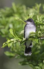 Eastern Kingbird Profile