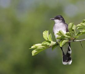 Eastern Kingbird Sitting