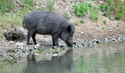 Wild boar at lake