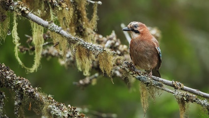 Eurasian jay sitting in a tree covered with lichen