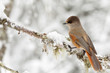 Siberian jay perched on a snowy branch