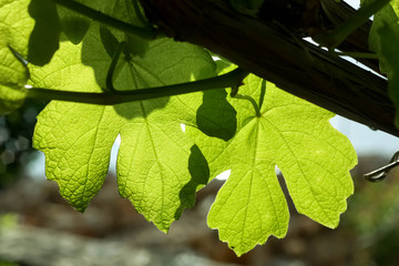 Young Vine Leaves in Sunlight