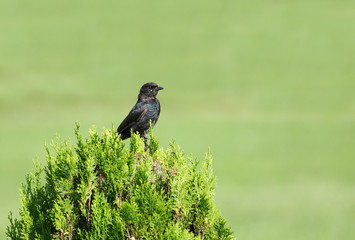 A beautiful black Drongo