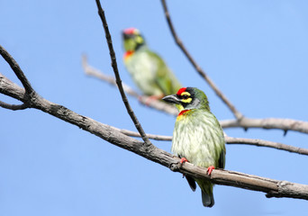 Beautiful pair of Coppersmith Barbet birds perched on tree