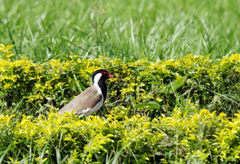 Red-wattled Lapwing in the hedges