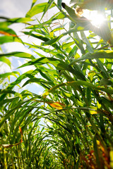 Corn field seen from inside the rows