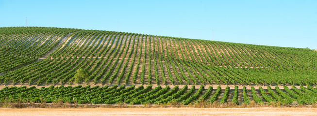 Panoramic of a vineyard