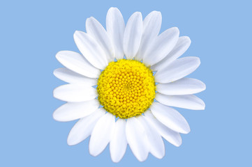 isolated chamomile with blue background