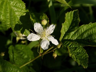 white flower of raspberry shrub close up