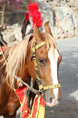 Portrait of Indian colorful horse
