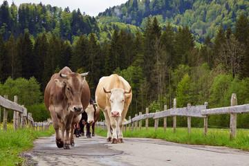 Kühe auf dem Weg zur Bergweide