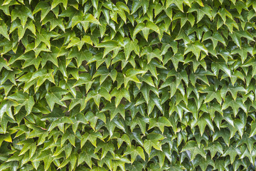Wall of green leafs