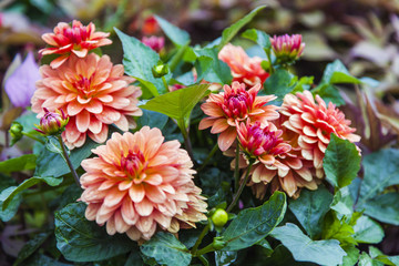 Bush of dahlias in a garden