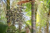 Acai Açaí Palm Fruit Tree Close-Up