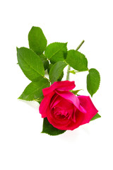 pink garden rose isolated on white background