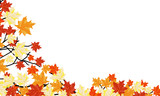 Autumn maple background
