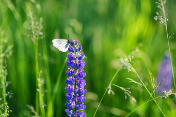 Beautiful white butterfly on blue lupine