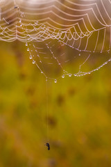 Spider web on a meadow at sunrise.