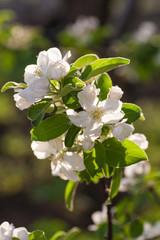 Blooming branch of fruit tree